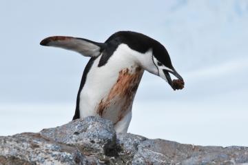 Chinstrap penguin – Antarctica