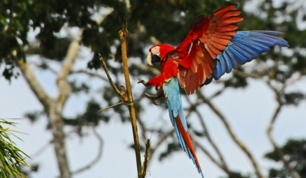 Red & Green Macaw