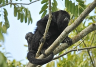 Yucatan Black Howler Monkey