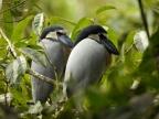 Boat-billed Herons