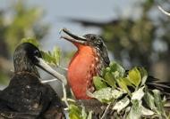 Couple of Frigatebirds