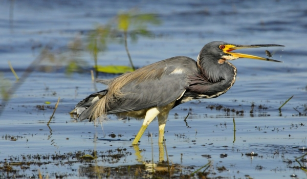 Belize – Tricolored Heron