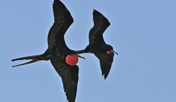 Male Frigatebirds