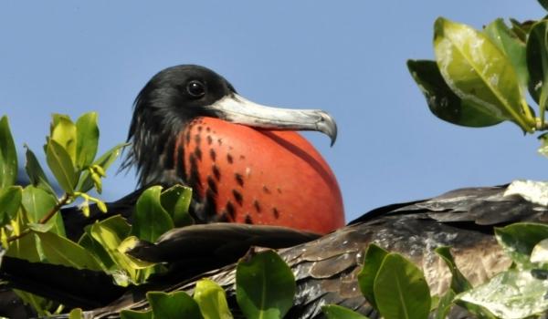 Male Frigatebird