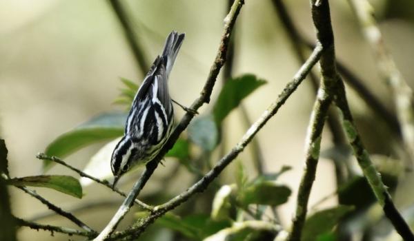 Black-&-white Warbler