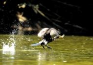 Neotropic Cormorant fishing