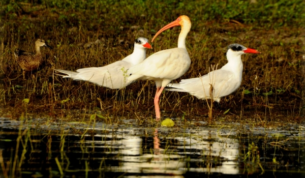 White Ibis & Caspian Terns