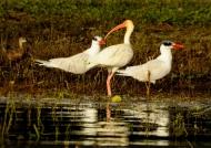 White Ibis & Caspian Terns