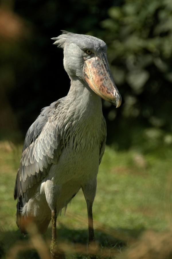 Shoe-billed Stork – Uganda