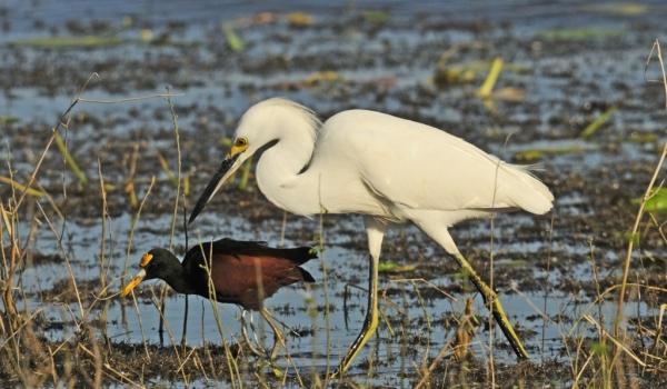 Snowy Egret & Jacana