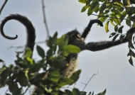American Spider Monkey