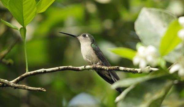 Wedge-tailed Sabrewing