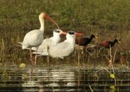 White Ibis, Terns & Jacanas