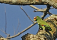 White-fronted Parrot