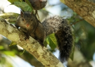Yucatan Squirrel