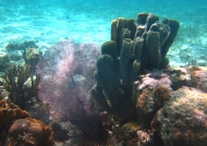 Sea Fan and Tube Sponges