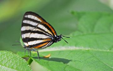 Zebra Hairstreak Arawacus Separata (Manu Amazonia Peru)