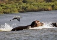 Goliath Heron scares Hippo