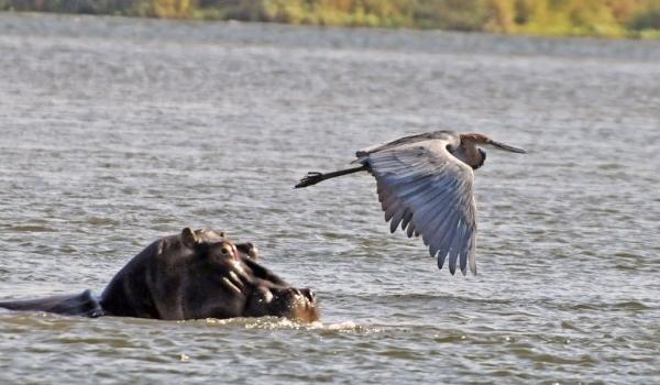 Heron's life goes on…