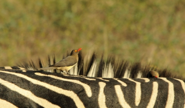 Red-billed Oxpecker.