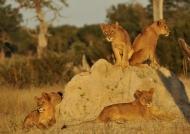 Mammals at Sunset