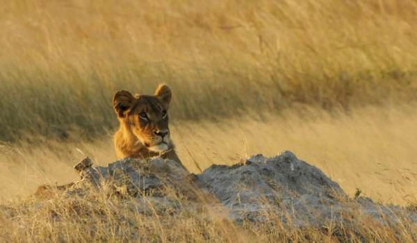 Lion looking for a prey