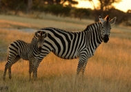 Zebra & young one