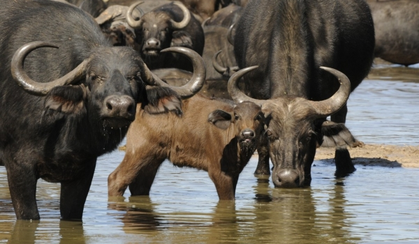 Parents with young Buffalo