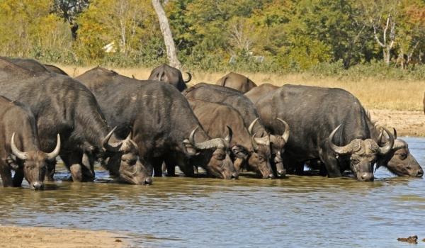 Buffaloes at Hwange NP