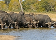 Buffaloes at Hwange NP