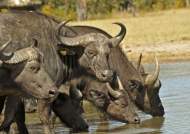 Buffaloes – Hwange NP