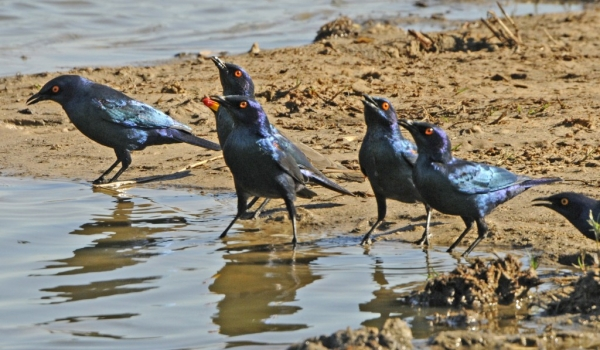 Cape Glossy Starlings