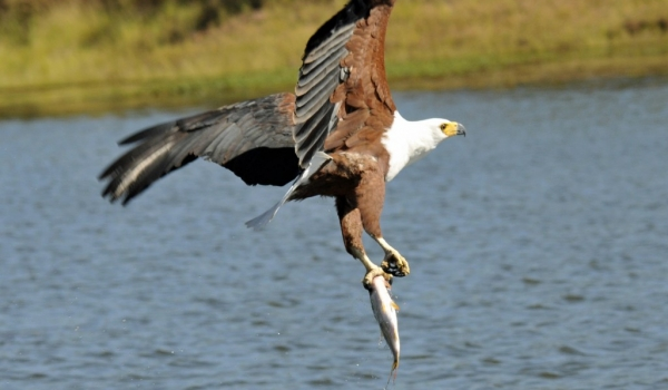 Fish Eagle with Tigerfish