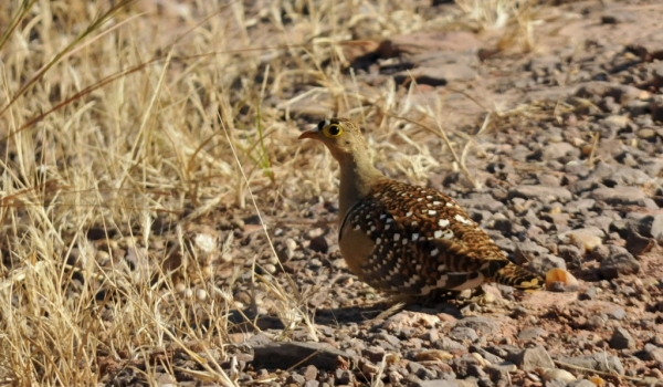 Double-banded Sangrouse