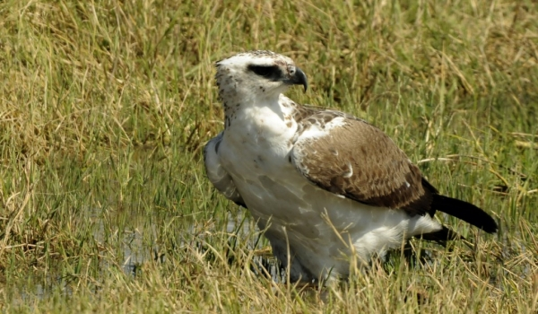 Immature Martial Eagle