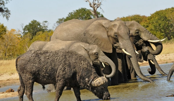 Elephants sharing water