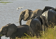 Elephants & Ibis