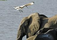 Elephant & Sacred Ibis