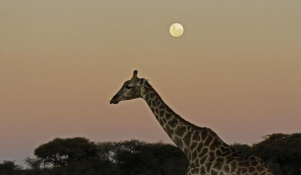 Giraffe at Full Moon