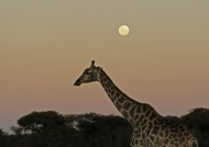Giraffe at Full Moon