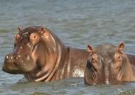Hippos «spy»