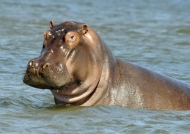 Inquisitive Hippo