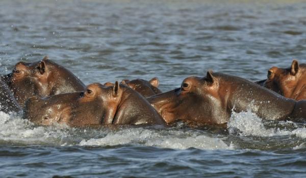 Hippos bathing
