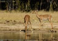 Impalas at Waterhole