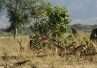 Impalas scared