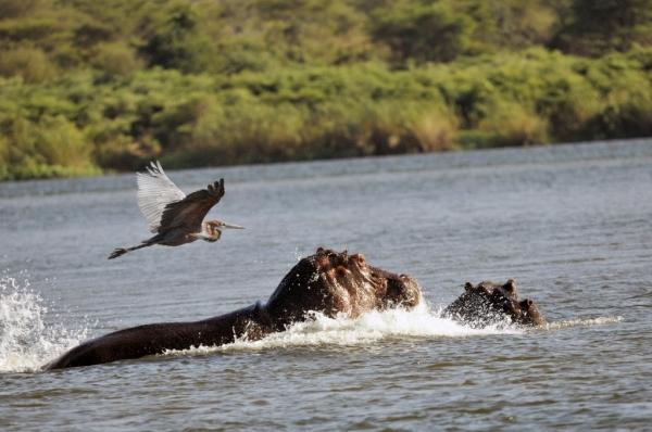 ZIMBABWE – Goliath Heron on the Lower Zambezi River