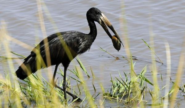 Open-billed Stork & mussel