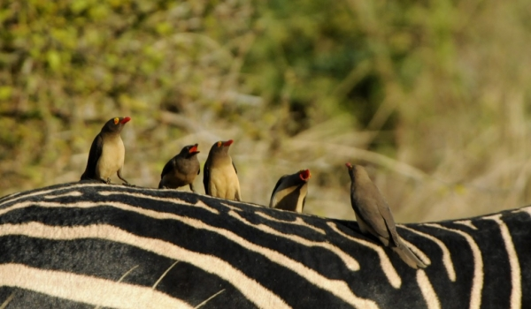 Red-billed Oxpeckers.