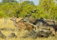 Couple of Greater Kudus