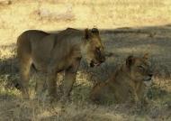 Females lions meeting again